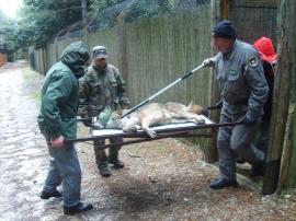 Operazione di trasferimento di esemplare di lupo da parte del Corpo Forestale dello Stato.